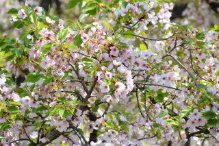 「葉桜の季節に君を想うということ」 歌野晶午著